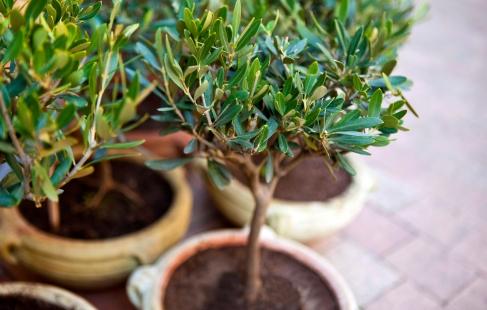 Smukke oliventræer ♥
